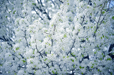 Flowering Tree Wild Plum