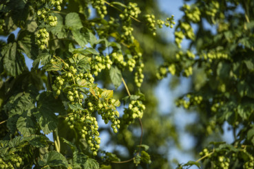 Flowers of the Hop Plant
