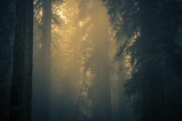 Fog in Redwood Forest