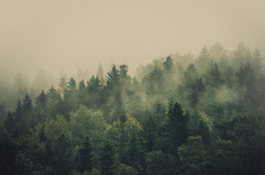 Foggy Summer Forest