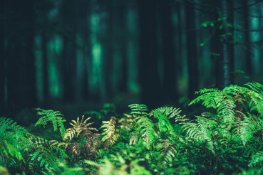 Forest Ferns Closeup