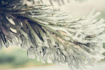 Frozen Pine Branch