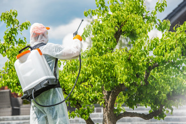 Gardener Insecticide Pear Tree Inside His Garden