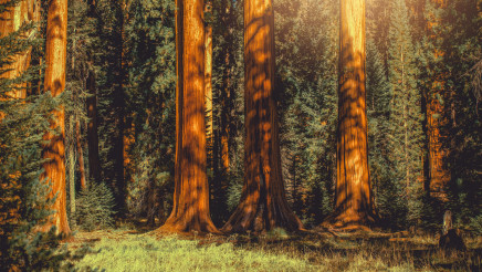Giant Sequoia Trees Woodland Panoramic