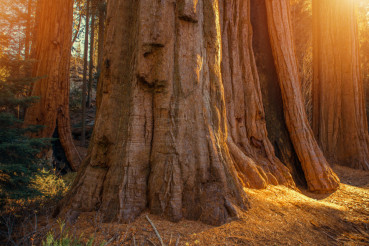 Giant Sequoias Grove