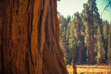 Giant Sequoias Trail
