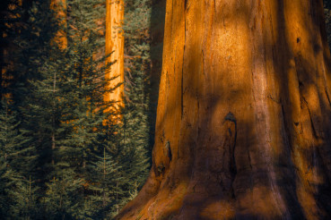 Giant Sequoias Woodland