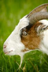 Goat Head Closeup