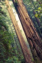 Grand Redwood Trees
