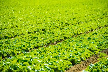 Green Lettuce Field