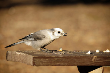Grey Jay Bird on Table