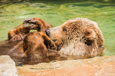 Grizzly Bear Water Fun