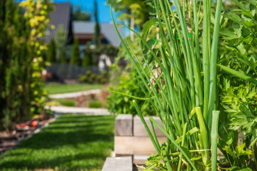 Growing Organic Chive in a Garden