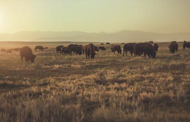 Herd of Colorado American Bisons