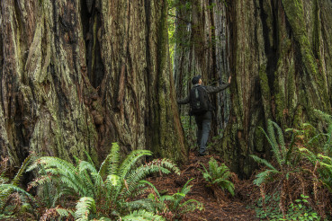 Hiker Exploring Redwood Forest Staying Between Ancient Trees