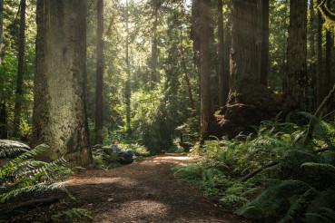 Hiker Taking Short Break Between Ancient Redwood Trees