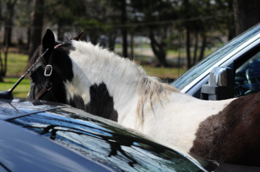 Horse Between Cars