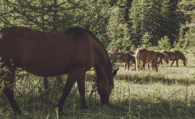 Horse Grazing Theme