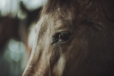 Horse Head and Eye Closeup