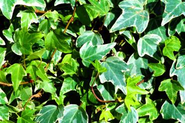 Ivy - Plural Ivies