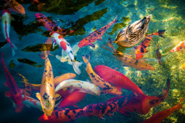 Koi Fishes and the Duck