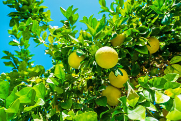 Lemon Tree Branch with Fruits