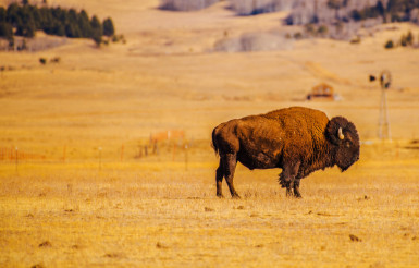 Lonely American Bison