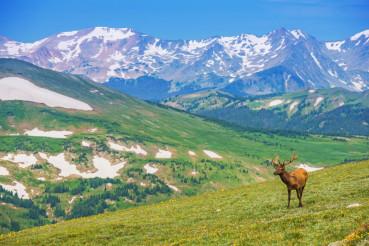 Lonely Elk Alpine Meadow