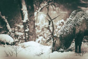Lonely Elk in Winter