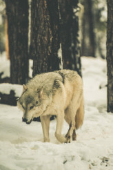 Lonely White Wolf