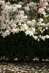 Magnolia Soulangiana Blossom