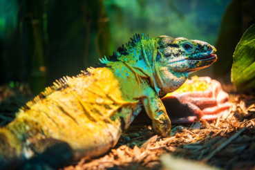 Mexican Spinytail Iguana