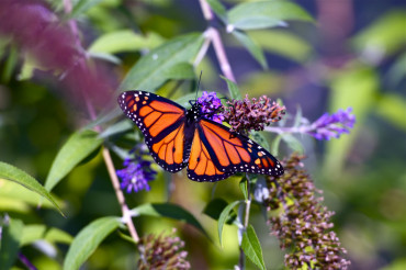 Monarch Butterfly Closeup