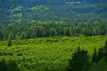 Montana Forest Landscape