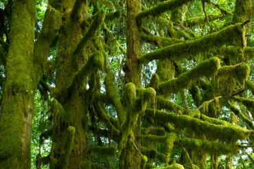 Mossy Tree Branches