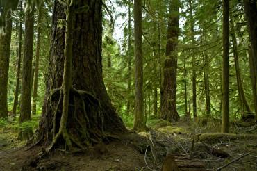 Mossy Washington Rainforest