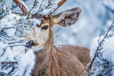 Mule Deer in Winter Forest