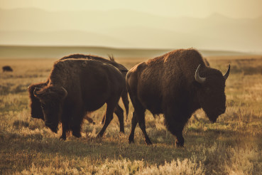 North American Bisons