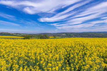 Oilseed Rape Field Flowering Rapeseed Plants