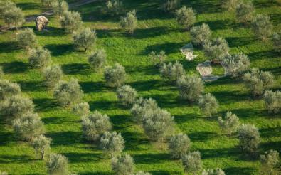 Olive Grove Harvesting
