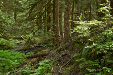 Olympic Forest Trail