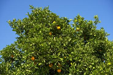 Orange Tree in California