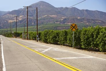 Orange Trees in California
