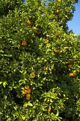 Oranges - Orange Tree