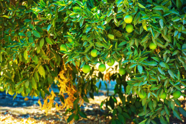 Organic Lemon Tree
