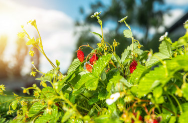 Organic Wild Strawberries Fruits in the Residential Garden