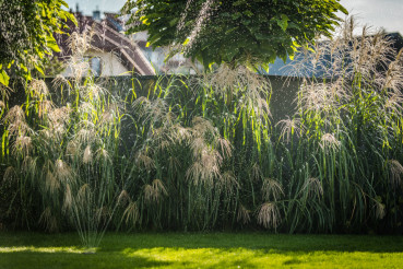 Ornamental Grasses in Garden