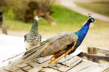 Peacocks Peafowl