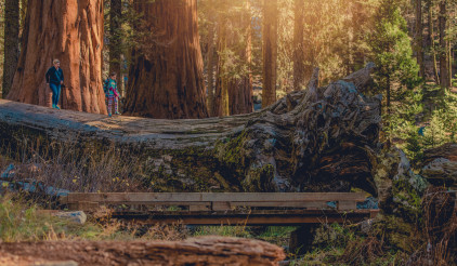 People Exploring Giant Sequoias in the Sierra Nevada Mountains