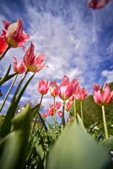 Pinky White Tulips